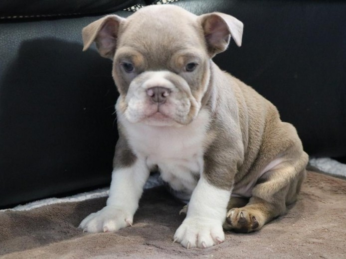Lilac tri female bulldog available