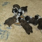 Excellent Litter Of St.bernard Puppies Ready Now!!