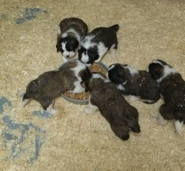 Pets  - Excellent Litter Of St.bernard Puppies Ready Now!!