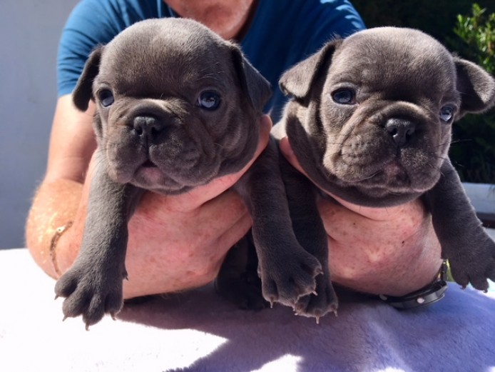 3 Adorable French Bulldog Puppies 4 Sale