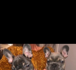 Beautiful frenchbulldog puppies