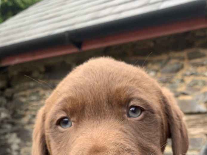 Four KC Registered Chocolate Labradors