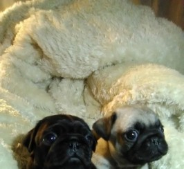 Beautiful Kc Pug Puppies