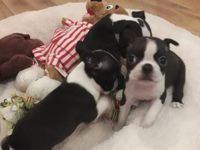 Kc registered Boston terrier