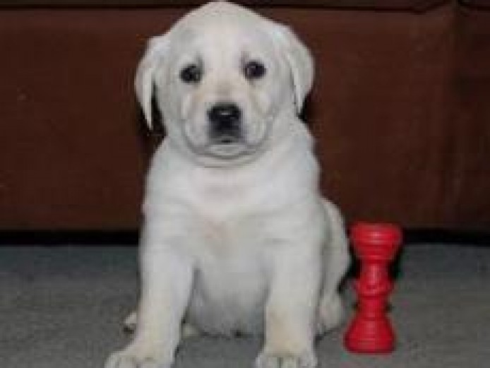 Stunning Pedigree and Kc Reg Labrador Retriever Pups For Sale