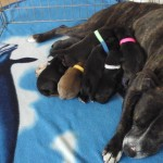 Wymerarma cross staffy puppies for sale.