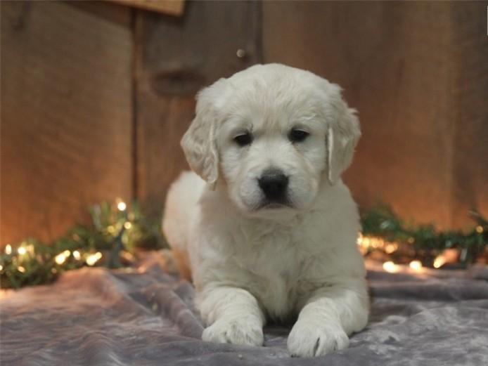 Outstanding Golden Retriever puppies