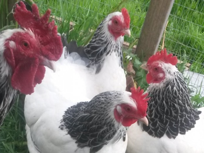 Light sussex. Pekins, warrens and leghorns for sale in South Birmingham
