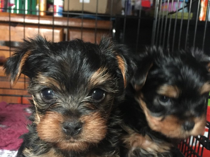 male yorkshire terrier puppies