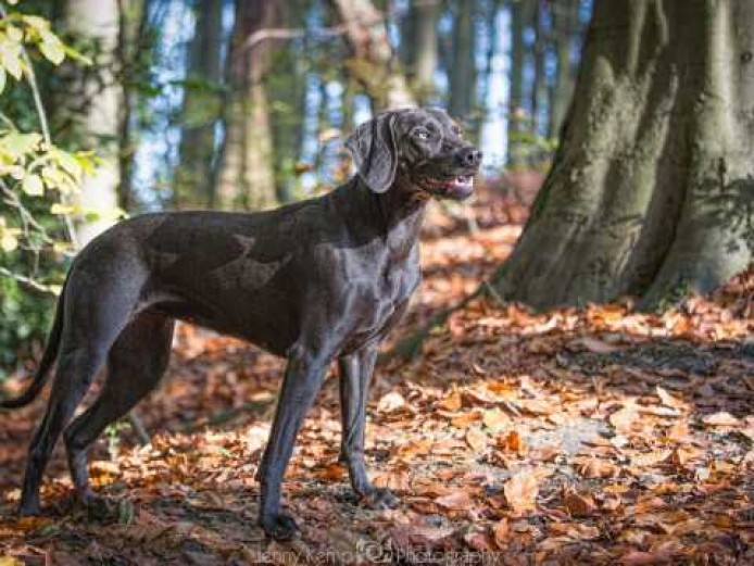 KC Reg Blue Weimaraner Puppies by Assured Breeder