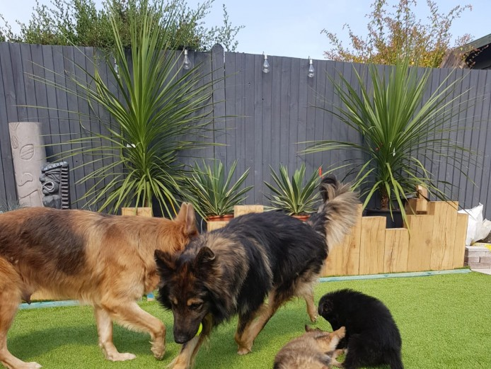 6 gorgeous chunky German shepherd puppies for sale