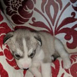 Sibian huskeys pups