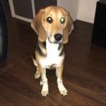 Tallullah the beagle for sale