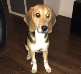 Tallullah the beagle for sale