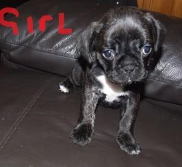 french bulldog x pug puppies