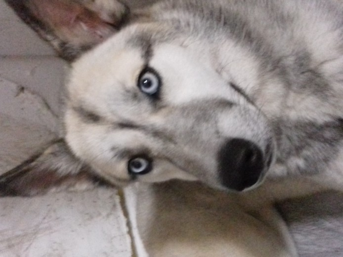 Siberian husky female 6months old puppy