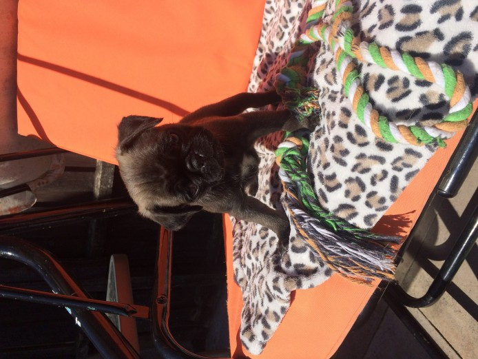 2 Female Pug Puppies For Sale