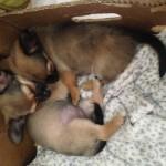 Stunning chihuahua puppys