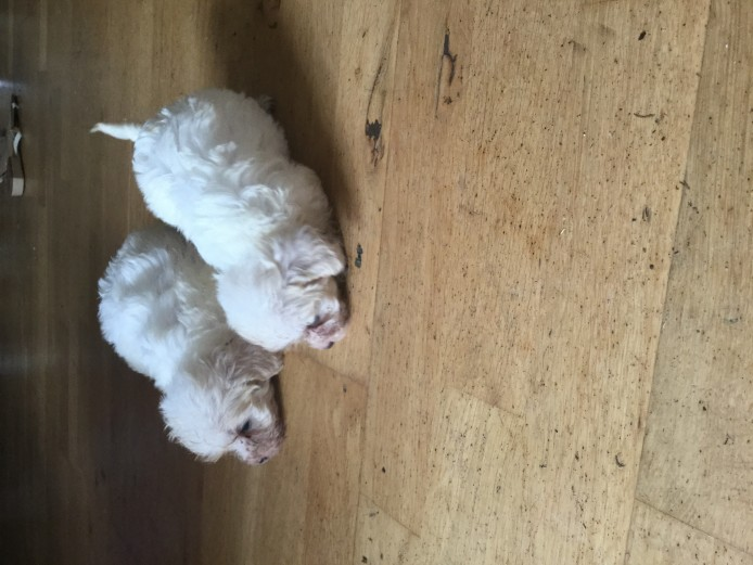 Adorable cavapoo puppies for sale
