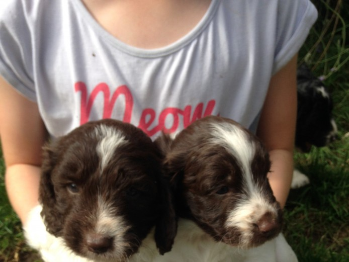 Beautiful Springer Spaniel X Poodle - Sproodle - Springerdoodle puppies