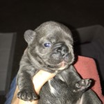 Kc reg French bulldog carries blue gene