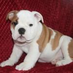 British Bulldog puppies Kc Registered