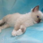 Full pedigree GCCF registered Ragdoll kittens ready 07th Jul