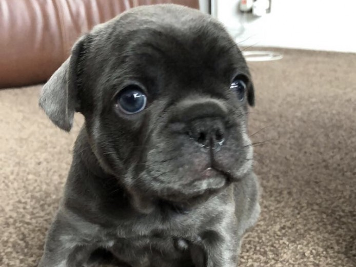 Beautiful KC Reg french Bulldog Puppies