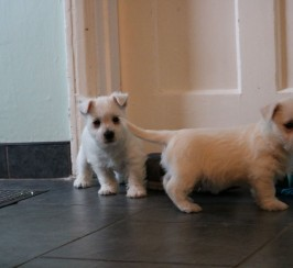 Handsome Young And Experienced Westies For Sale