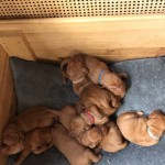 Wire Haired Vizsla Puppies for sale