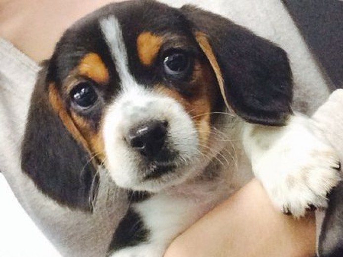 Beautiful Tri Coloured Beagle Puppies For Sale