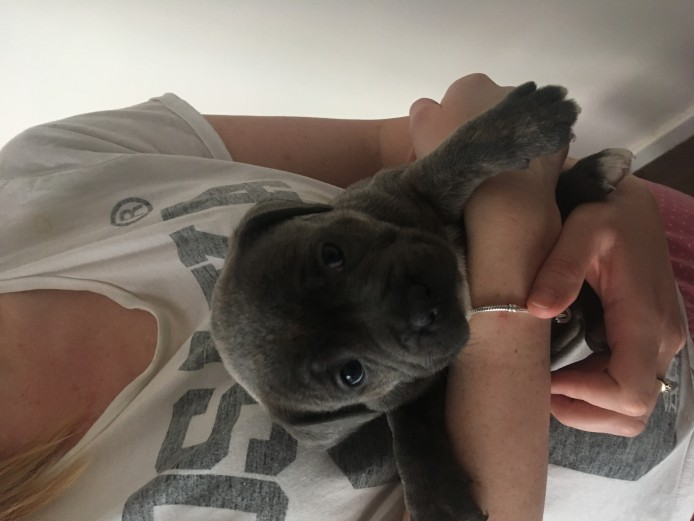 KC 1 Female blue Staffordshire bull terrier puppy for sale