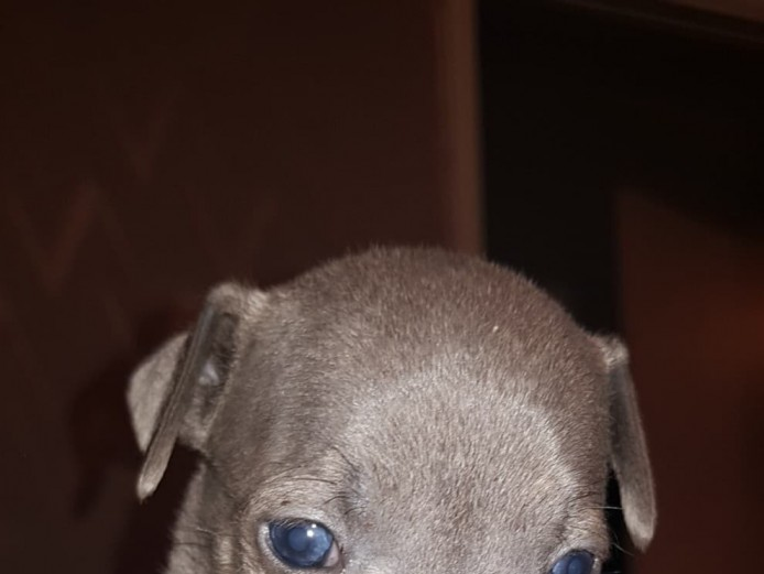 KC Blue amd blue fawn Staffordshire bull terrier pups
