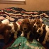 Pets  - Beautiful Basset Hound Puppies
