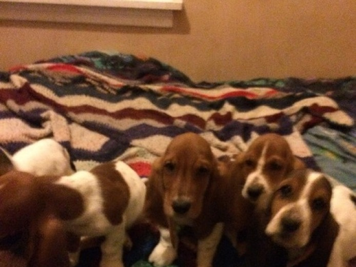 Beautiful Basset Hound Puppies
