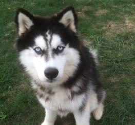 Pets  - Blue eyed Siberian Husky for stud