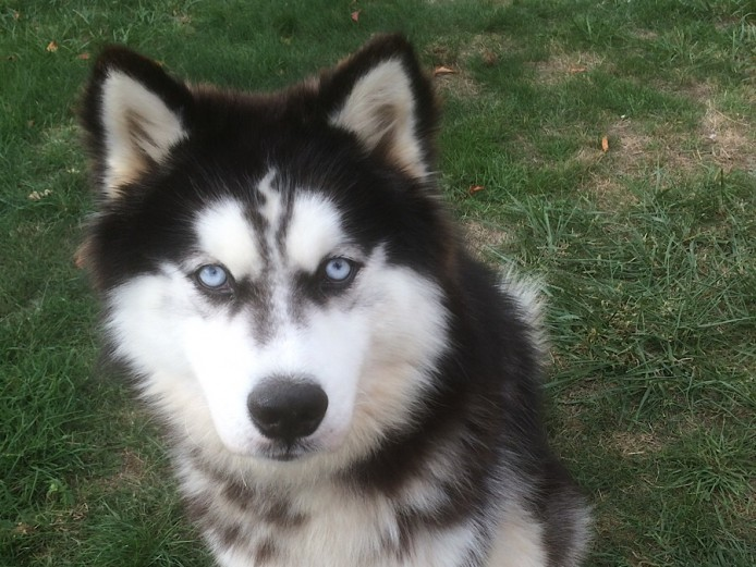 Blue eyed Siberian Husky for stud