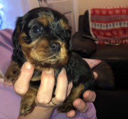 Pets  - Puppies for sale