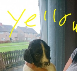 Pets  - Kc springer spaniel puppies
