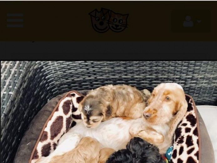 Absolutely stunning cockapoo puppies