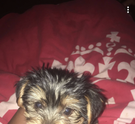 Yorkshire Terriers Puppies