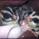 Sugar Gliders for sale