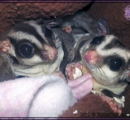 Pets for Sale - Sugar Gliders for sale