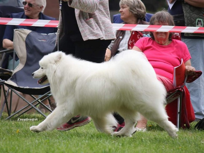 Stunning Samoyed KC registered for Stud