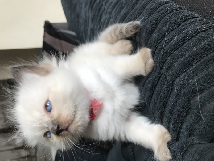 GCCF reg Active Ragdoll female