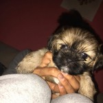4 beautifull shih tzu x yorkie puppies for sale