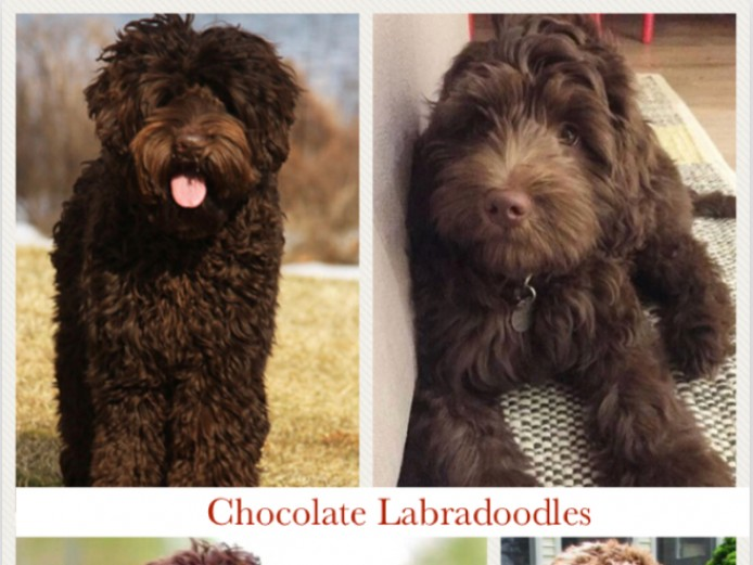 Adorable Chocolate Miniature Labradoodles