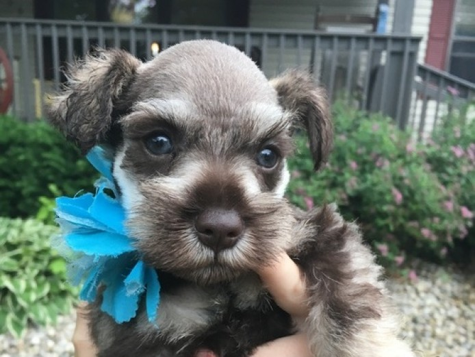 Beautiful Kc Reg Miniture Schnauzer Puppies
