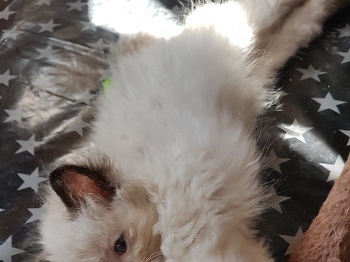 Full pedigree GCCF registered Ragdoll kittens ready 14th Jul