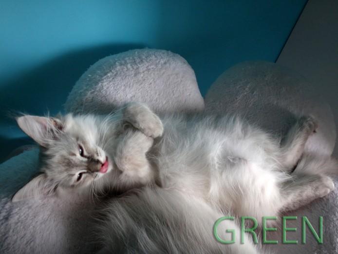Siberian Neva Masquerade Kittens